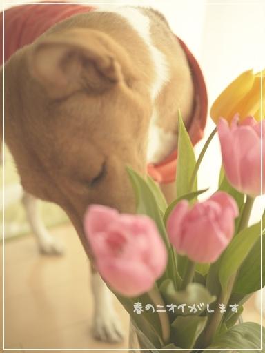 チューリップの花.jpg