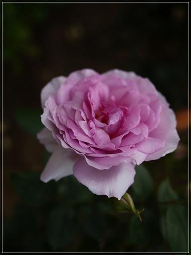 S-rose2.jpg